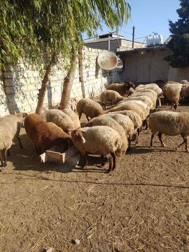 qoyunlar - Azərbaycan: Super qoyunlar,temiz etleri 25-30 kq,85 ededdi,tek tekde satilir,coxu