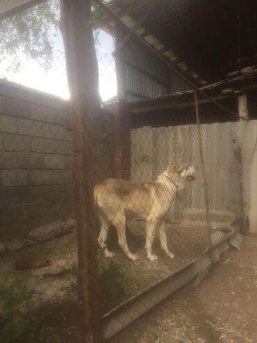 1 объявлений | ЖИВОТНЫЕ: Собаки
