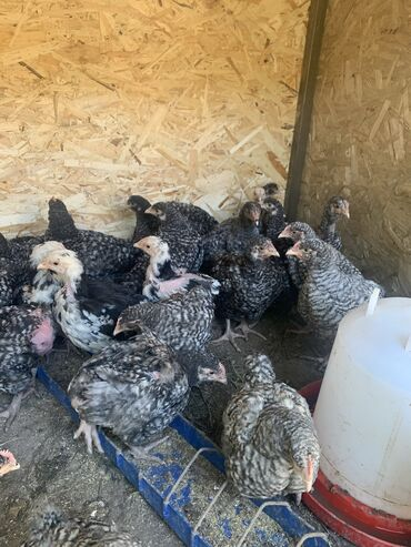 Цыплята, Кохинхин, Арпингтон,Брама