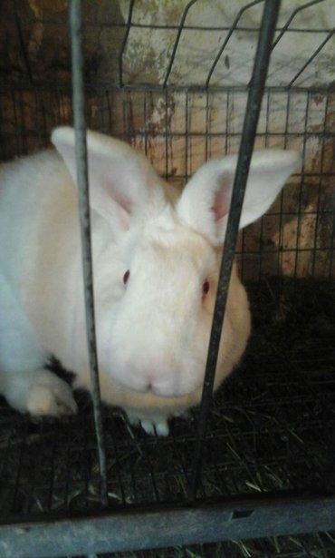 Продам кроликов;.Крол НЗБ и Три в Сокулук