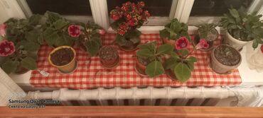 Комнатные растения - Кыргызстан: Цветы очень красивые