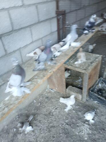 Животные - Ивановка: Продаю голуби игравые