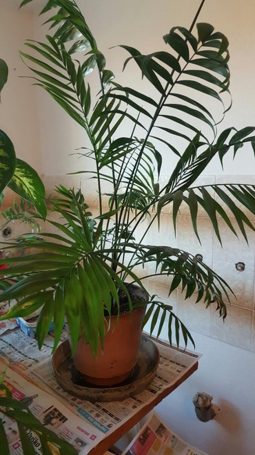 Palme razlicite velicine od 800 do 1500 din