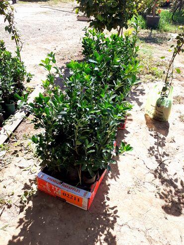 Toxumlar və çöl bitkiləri - Azərbaycan: Evonus.Bakiyada sifariwler catdirilir.vhatsapp var