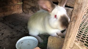 продам-крольчат в Кыргызстан: Продаю калифорнийских крольчат «самцы» или меняю на самок этой же