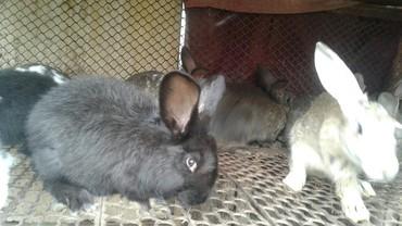 Срочно 4 месячные кролики по 300 сом в Лебединовка