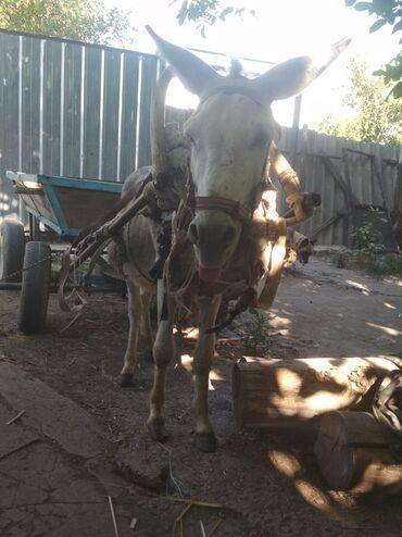 Животные - Каинды: Продаю ишака с бричкой