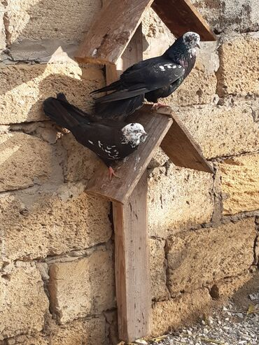Животные - Новкхани: Cutu 80 manata temiz bagam qarabasla deyiseram