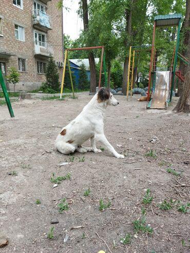 Животные - Кировское: Верная, умная охранница. Похожа на помесь борзой или тайгана