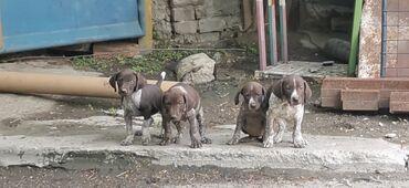Продаётся щенки курцхаара. От рабочих родителей