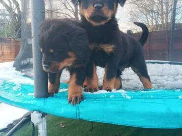 Κουτάβια Rottweiler Έχουμε 10 κουτάβια Rottweiler όχι kc reg 6 αρσενικ