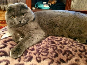 Кот красавчик ищет невесту для вязки. Скоттиш-фолд (шотландский