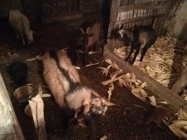 Tri koze sa tri jareta i jarac na prodaju.. - Sopot