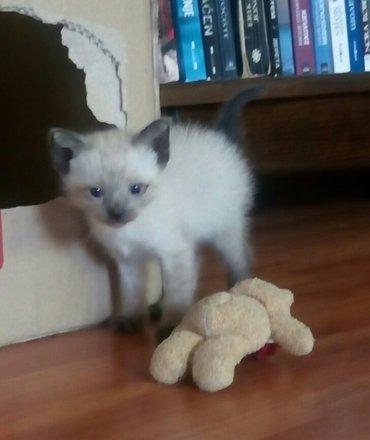 Sijamski macici,spremni za preuzimanje,samostalno se hrane,nauceni na - Novi Becej