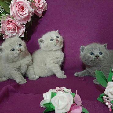 Коты - Беловодское: Открыта бронь на котят британская короткошерстная Котята с документам