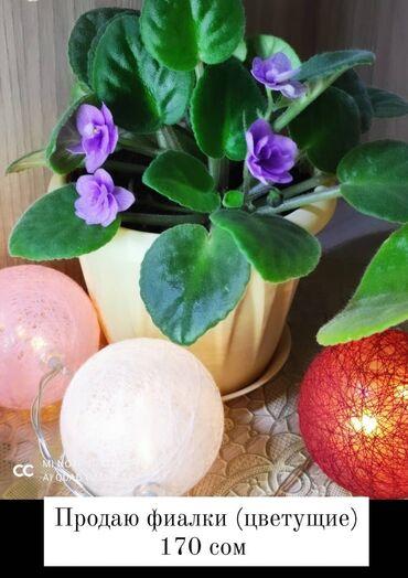 Комнатные растения - Сокулук: Продаю фиалки