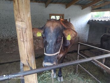Животные - Кызыл-Суу: Коровы, быки
