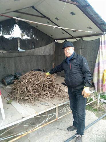 саженцы персика в бишкеке в Кыргызстан: Павловния - Кут Дарак. Эн суукка чыдамдуу, эн бат оскон, супергибрид с