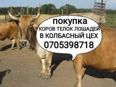 Животные - Кара-Балта: Покупаем скот и вынужденный забой скота в колбасный цехдорого!!!