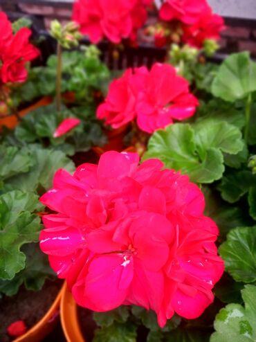Продаю калированную карликовую пеларгонию пышную 15 расцветок