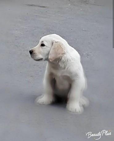 dog - Azərbaycan: Labrador satilir 3 ayliqdi 300$