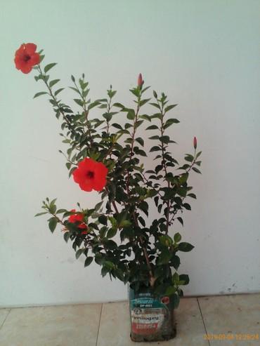 selskokhozyaistvennaya zemlya v arendu - Azərbaycan: Noviy gorsok v podarok!!! Kitayskaya roza, cveti privezeni iz