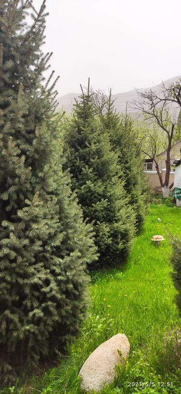 шины бу купить в Кыргызстан: Продам ёлки зелёные 15 лет, 5 шт
