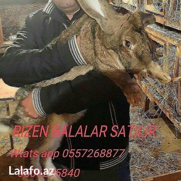 Xırdalan şəhərində Mini ferma... Rizen velikan dovshan balalari satilir 40 manata