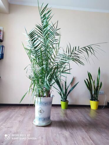 Пальма 10 лет остальным по 3 года - все в одном горшке .  Рост около