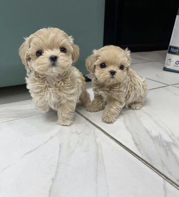 Cute Maltese puppies male and female. They are adorable and are read