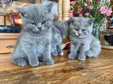 Σκωτσέζικα Fold KittensΑνατρέφουμε τα γατάκια Scottish Fold (μακριά