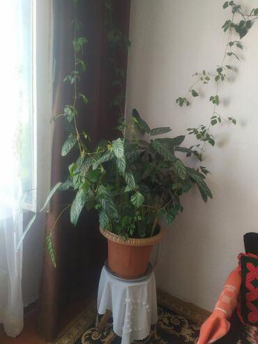 Комнатные растения - Беловодское: Токмок 1микрайон