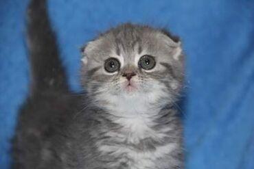 вислоухий шотландец котенок в Азербайджан: На продаже шотландская вислоухая кошечка окраса мрамор готова к переез