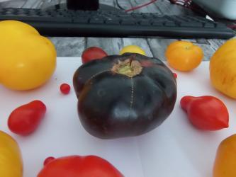 """Na prodaju 10 semenki Crni lepotan paradaiz( """"Black beauty"""") Novija - Uzice"""