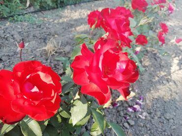 Kuća i bašta - Odzaci: Sačma, žar crvena boja, raste oko 60cm