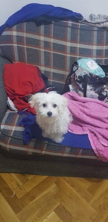 Ostalo još jedno prelepo muško štene maltezera. Majka je u mom - Belgrade
