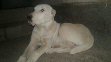Продается щенок алабая (кобель) 4 месяца с документом    в Джалал-Абад