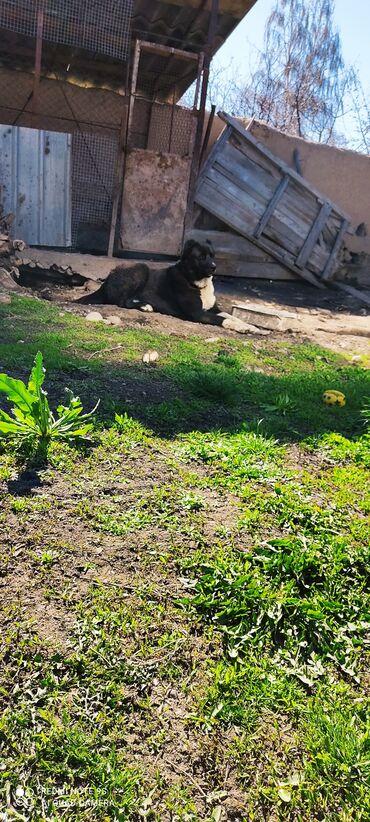 каракол квартира in Кыргызстан | ПОСУТОЧНАЯ АРЕНДА КВАРТИР: Собака