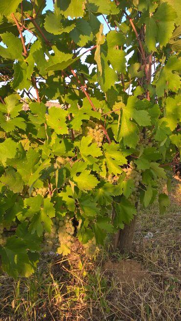 Kuća i bašta - Sremska Kamenica: Prodajem grožđe sorte župljanka i rekacitel berba 19.09, Sremska