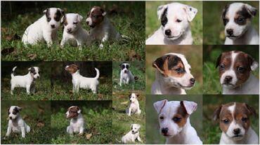 Kućni ljubimci - Srbija: Džek rasel terijer štenci Džek rasel terijer štenci vrhunskog izgleda