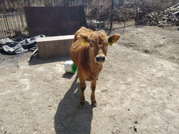 Телка 8 месяцы Чуйской породы мама 20л молока давала в Бишкек