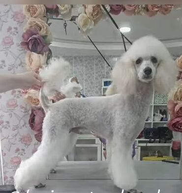 Продаю собаку, порода пудель. Самец, 8 месяуев. Все прививки сделаны