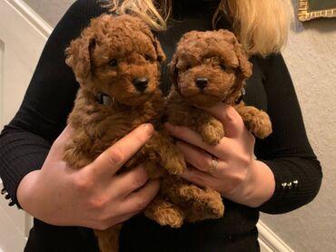 Πωλούνται υπέροχα κουτάβια Poodle  Poodle κουτάβια διαθέσιμα προς πώλ
