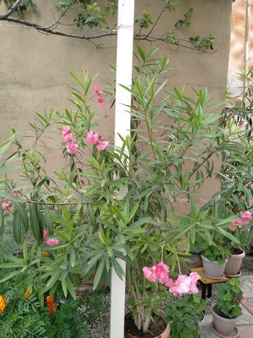 Китайская роза.Молодая всего лишь 4 года.Цена:договорная