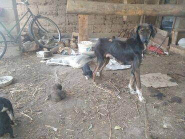 31 объявлений | ЖИВОТНЫЕ: Собаки