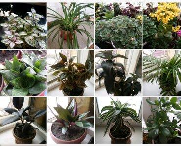 Ухоженные домашние комнатные растения, цветы, 12шт=5500 сом in Бишкек