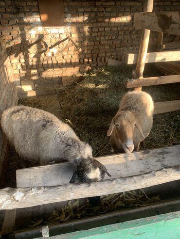 539 объявлений   ЖИВОТНЫЕ: Продаю   Овца (самка)   Полукровка   На забой, Для разведения   Котные, Матка