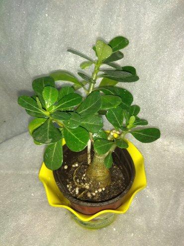 ЦВЕТЫ!!! много молодых растений различных комнатных растений! пишите н в Бишкек - фото 8