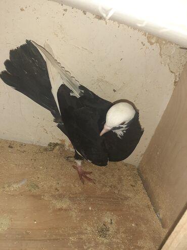 Животные - Хачмаз: Птицы