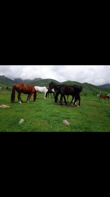 Отдых на Иссык-Куле в Кыргызстан: Кымызолечение. Чоң-кемин с хорошими условиями:3-х разовое питание+5-ти